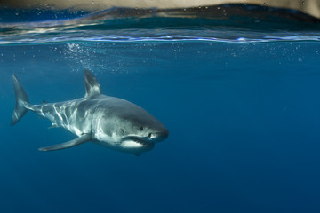 Wall Mural - Great White Shark in blue ocean. Underwater photography. Predator hunting near water surface.