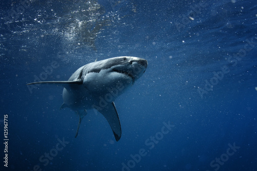 Wall mural Great White Shark in blue ocean. Underwater photography. Predator hunting near water surface.