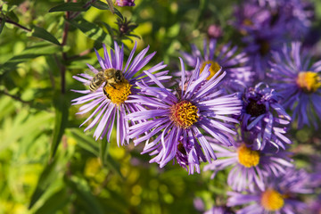 A bee pollinating a purple daisy flowers.