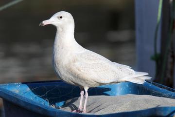 Juvenile Glaucous Gull standing, Newlyn, Cornwall, England, UK.