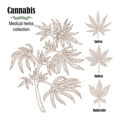 Hand drawn cannabis plant. Medicinal herbs collection. Vector illustration