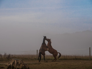 Two Brown horses fightig on a paddock, foggy background