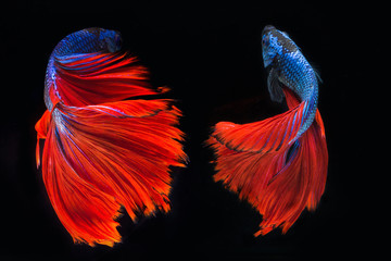 Red tail of Blue fighting fish, betta on black background