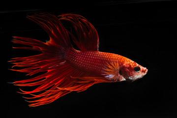 Red fighting fish, betta on black background