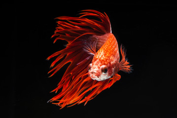Red fighting fish, betta on black background