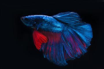 Blue fighting fish, betta on black background