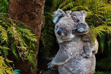 Photo sur Toile Koala Australian koala bear native animal with baby