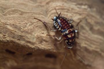 Harlequin cockroach (Neostylopyga rhombifolia).