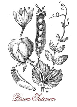 Pea is an annual plant, the pod fruit contains several seed (peas) consumed boiled, steamed . Austrian monk Gregor Mendel's observations of pea pods led to the foundation of modern genetics