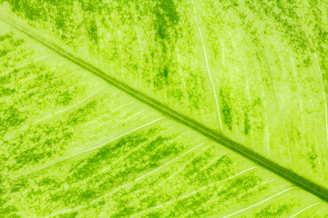 Leaf texture or leaf background for design with copy space for text or image.