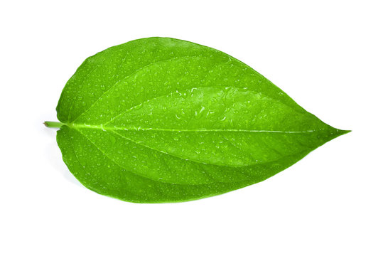 Green betel leaf heart shape with water drops isolated on white