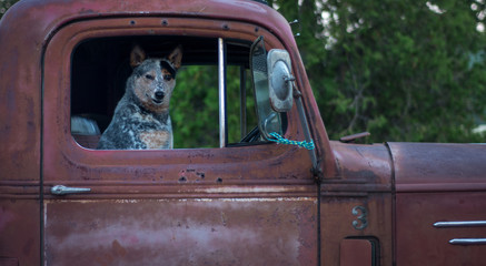 Dog in old vintage red truck