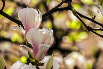 magnolia flowers close up on a blur green leaves background