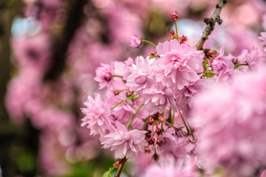 delicate pink flowers blossomed Japanese cherry trees close up