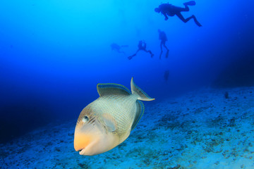 Triggerfish fish and scuba divers