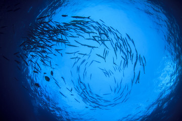 Barracuda fish school in ocean