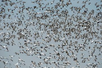 Snow Geese Flyup, Cosumnes Reserve