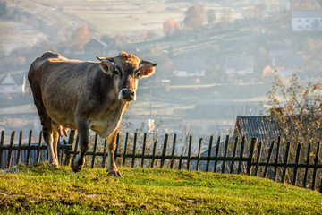 Carpathian rural area behind the village. Cow near the wooden fence on meadow early in the morning