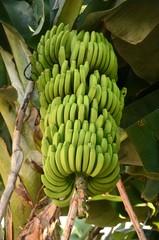 Commune de Sauces : Plantations de bananes