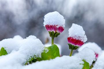 rote Blüten mit Schnee bedeckt Winter