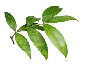 Japanese bamboo plant leaves isolated on white background, clipp