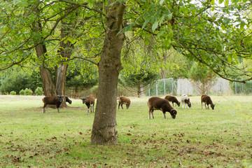 Braune Schafe