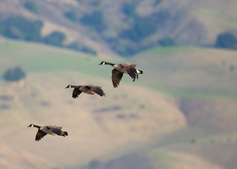 Canada geese flying together, seen in the wild against the Mission Peak hills in North California