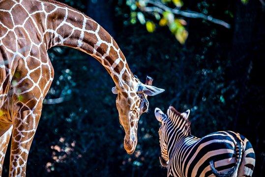 giraffe stretches down to say hi to zebra friend