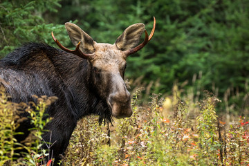 Moose - Alces alces, portrait of a young male bull, making eye contact.  Autumn leaves and pine trees in the background.