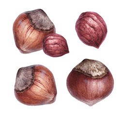 Watercolor illustrations of hazelnut