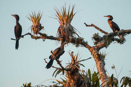 At sunset, these neotropic cormorants perch above Laguna Grande, waiting for fish to show up. This is near Sacha Lodge, Cuyabeno Reserve, Amazon.