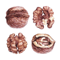 Watercolor illustrations of walnuts