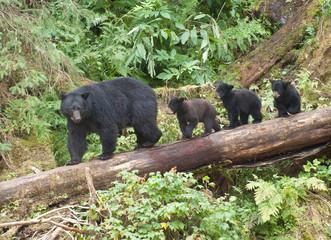 Mama Bear and Three Cubs, Anan Creek