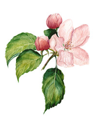 Watercolor apple blossom. Botanical isolated illustration.
