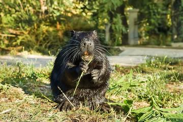 Wet Nutria, or coypu, or swamp beaver (lat. Myocastor coypus), a mammal of the rodent eats green leaves.
