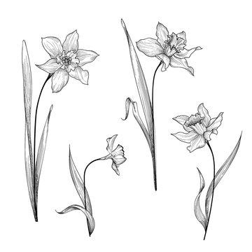 Floral bouquet set. Flower daffodil botanical engraving background