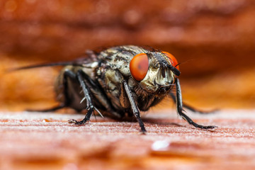 Diptera Fly on Red Background