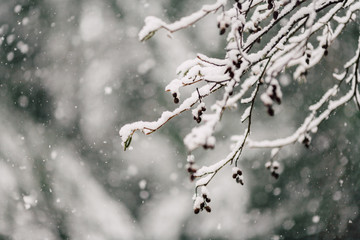 Snow falling on deciduous tree branches with forest in background