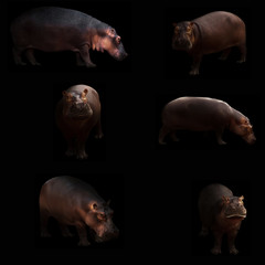 hippopotamus hiding in the dark