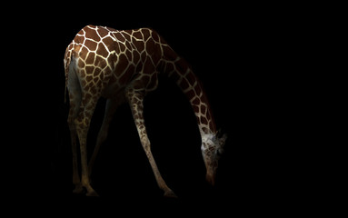 giraffe hiding in the dark