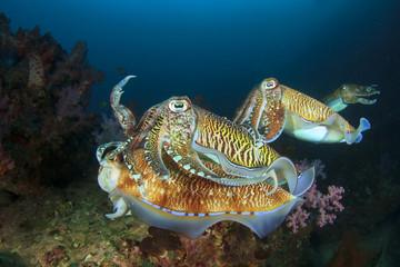 Cuttlefish mating sex fish