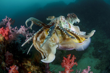 Cuttlefish mating sex fish