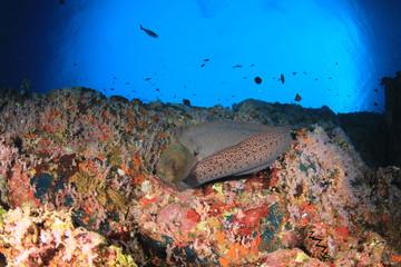 Moray Eel on coral reef underwater
