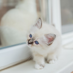 Sacred Birman kittens in the interior, home furnishings, shallow depth of field, thoroughbred kittens.