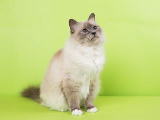 beautiful cat in studio close-up, luxury cat, studio photo, green background hroma key