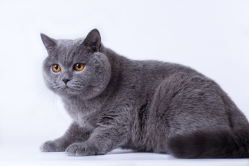 grey British cat on a white background, in the studio isolated, orange eyes
