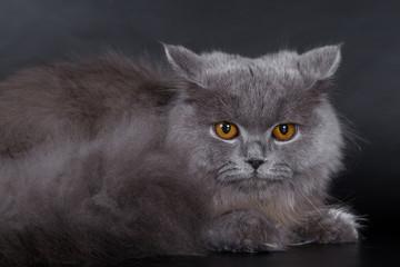 Photo sur Toile Croquis dessinés à la main des animaux British Longhair on a white background in the studio, isolated, orange eyes, gray cat
