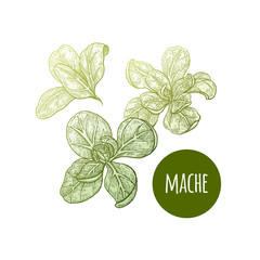 Lettuce mache. Plant isolated on white background. Vector illustration. Hand drawing style vintage engraving. Greenery for create the menu, recipes, decorating kitchen items. Vintage.
