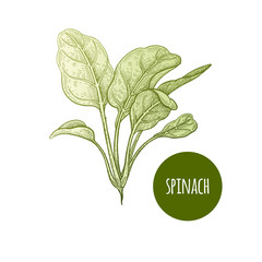 Lettuce spinach. Plant isolated on white background. Vector illustration. Hand drawing style vintage engraving. Greenery for create the menu, recipes, decorating kitchen items. Vintage.