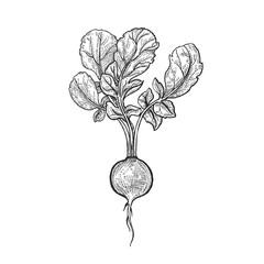 Hand drawing vegetables radish.